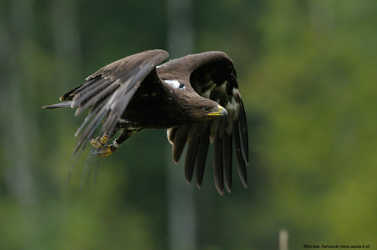 Nil - Greater Spotted Eagle form Biebrza.